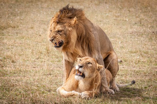 This Lion Couple have sex Over 100 Times a Day | khabarlazmi